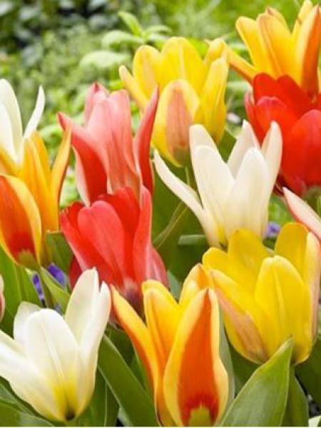 Tulipe nénuphar en mélange