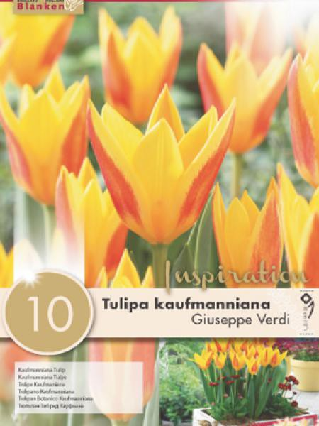Tulipe nénuphar 'Giuseppe Verdi'