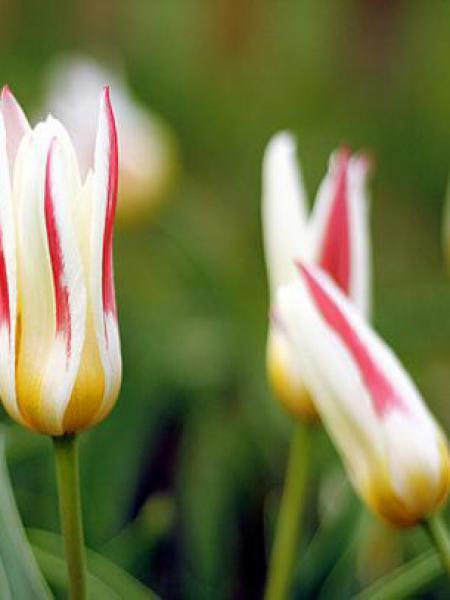 Tulipe nénuphar 'Johan Strauss'