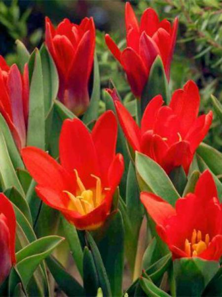 Tulipe nénuphar 'Scarlet Baby'
