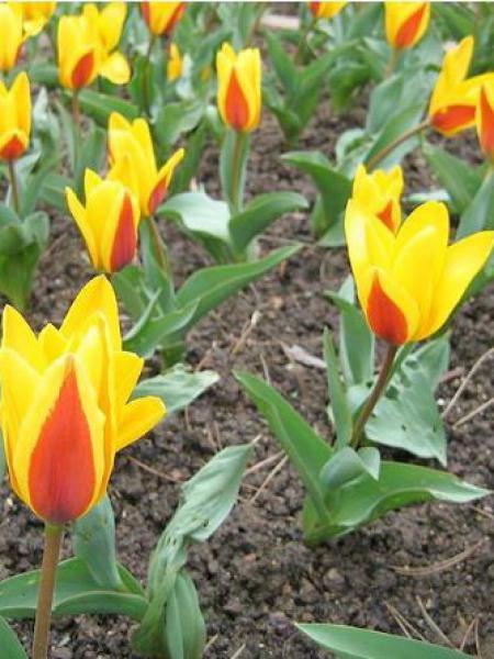 Tulipe nénuphar 'Verdi'
