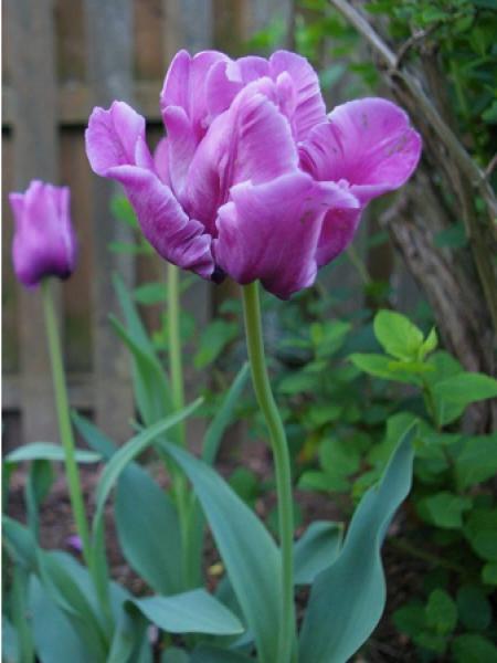 Tulipe 'Parrot Blue'