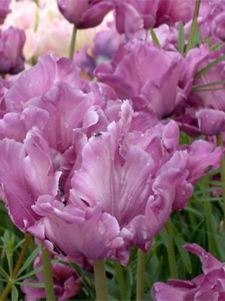 Tulipe perroquet 'Blue Parrot'