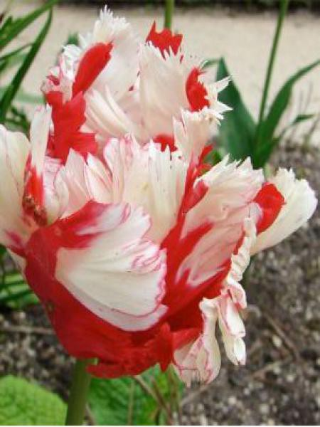 Tulipe perroquet 'Estella Rijnveld'