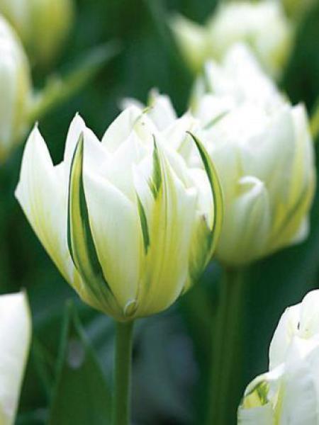 Tulipe perroquet 'Exotic Empereur'