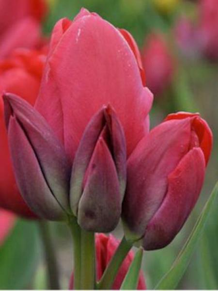 Tulipe pluriflore 'Cherry Bouquet'