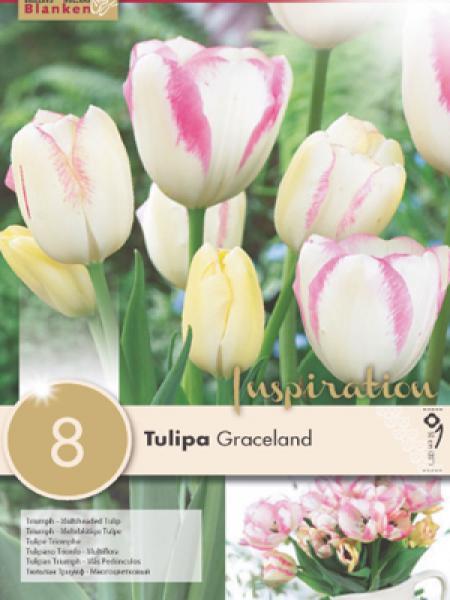 Tulipe pluriflore 'Graceland'