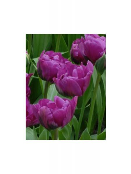 Tulipe 'Purple Pion'