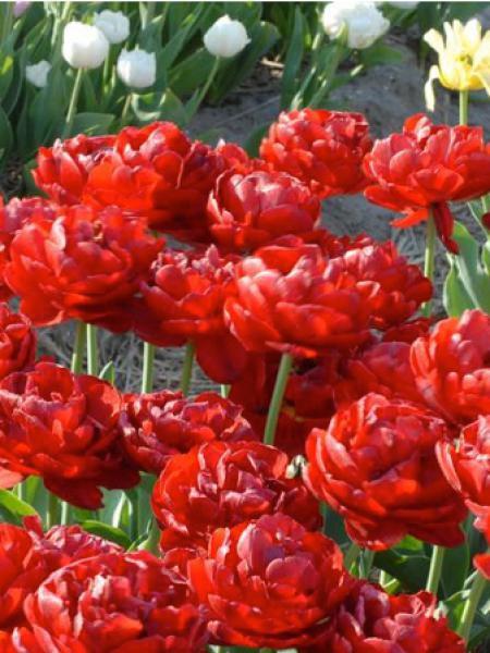 Tulipe 'Salcido'