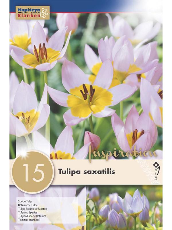Tulipe 'Saxatilis'