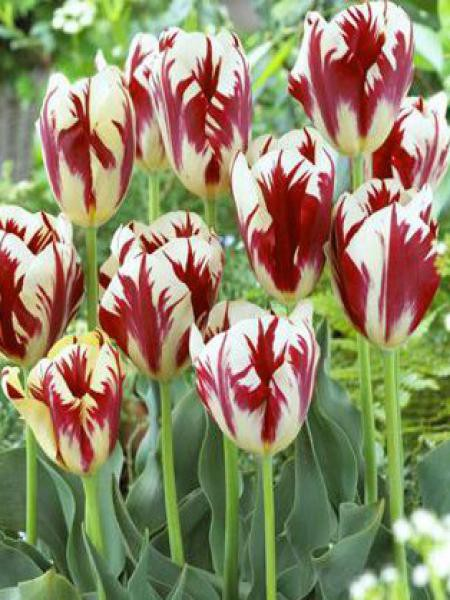 Tulipe simple tardive 'Grand Perfection'