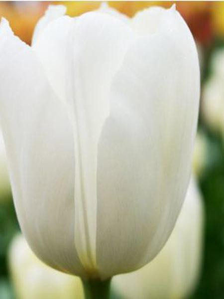 Tulipe simple tardive 'Maureen'