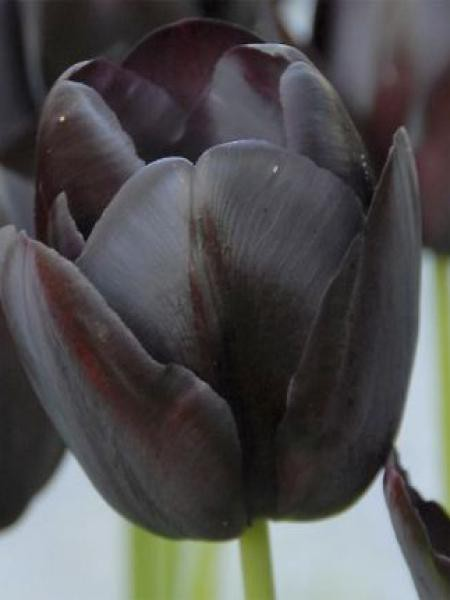 Tulipe simple tardive 'Queen of the Night'