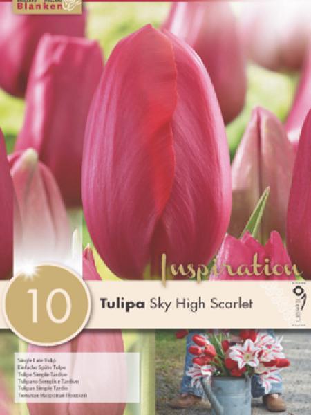 Tulipe 'Sky High Scarlet'