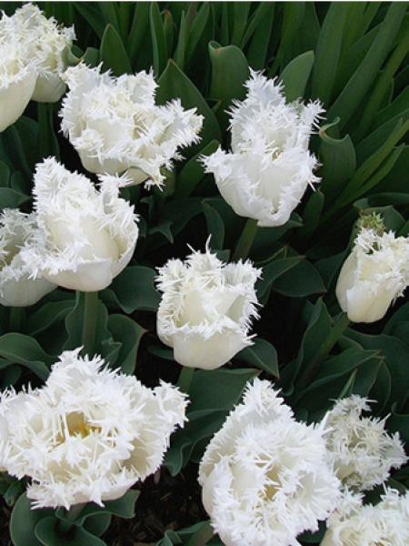 "Tulipe 'Snow Crystal"""