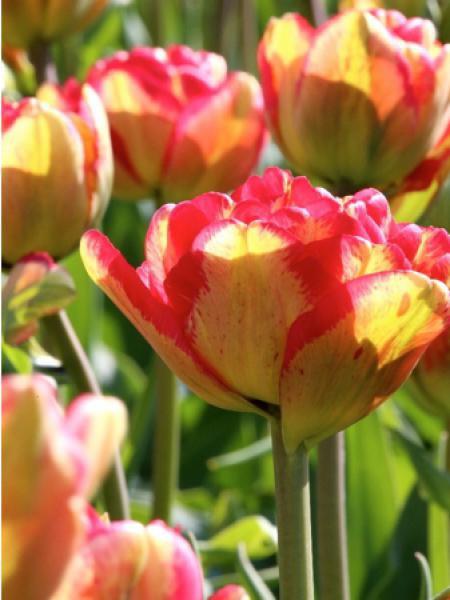 Tulipe 'Sundowner'