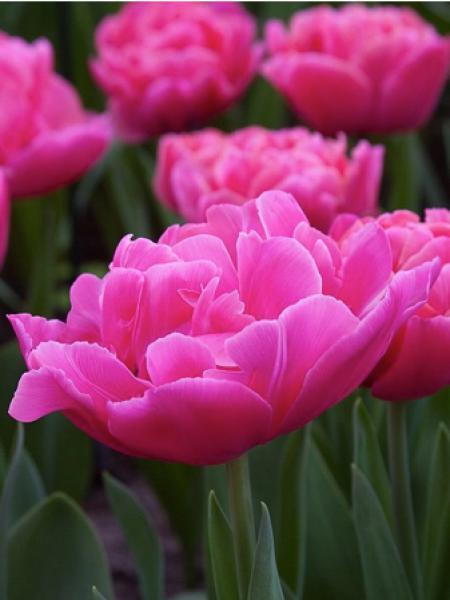 Tulipe 'Sunset Tropical'