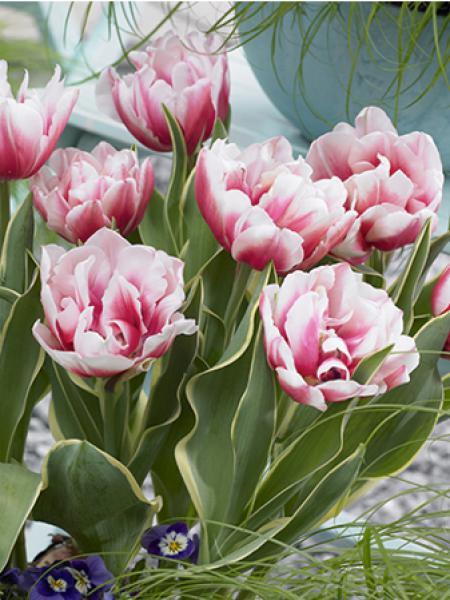 Tulipe 'Top Lips'