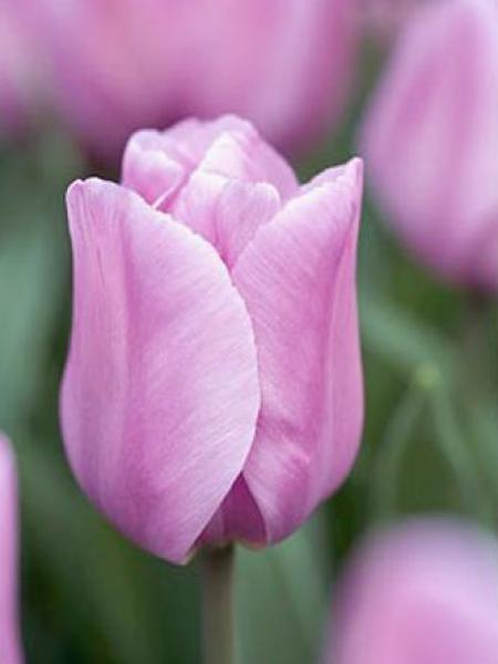 Tulipe triomphe 'Alibi'