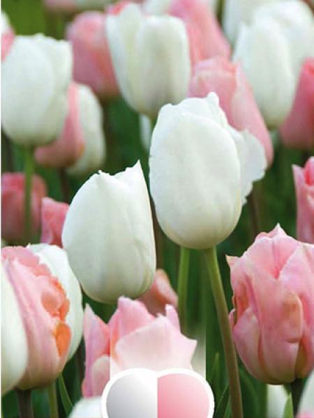 Tulipe triomphe 'Blanc et rose abricot'
