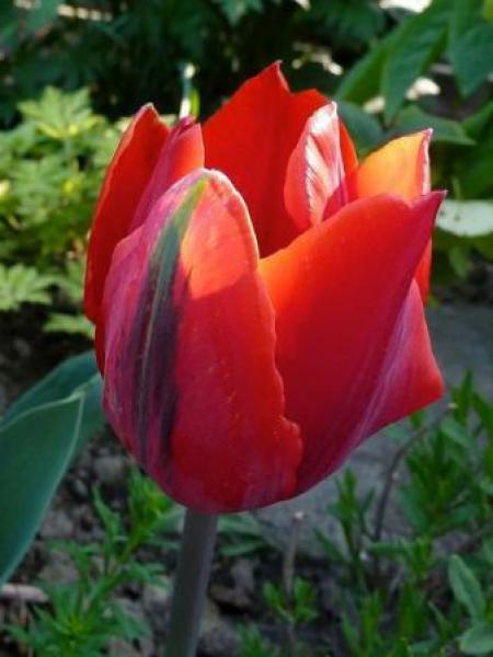 Tulipe triomphe 'Couleur Cardinal'