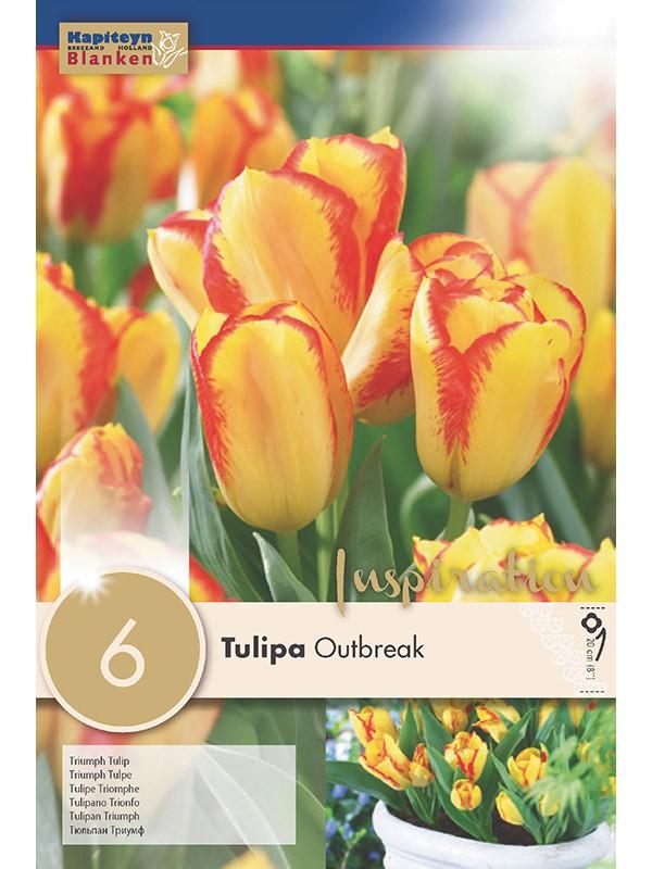 Tulipe triomphe 'Dwarf Outbreak'