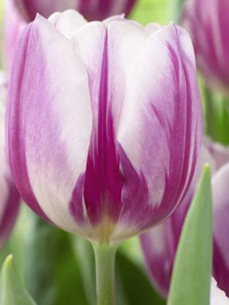 Tulipe triomphe 'Flaming flag'