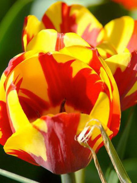 Tulipe triomphe 'Helmar'