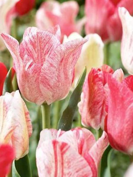 Tulipe triomphe 'Hémisphère'®