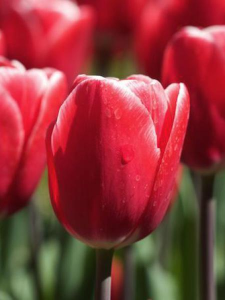 Tulipe triomphe 'Kung Fu'