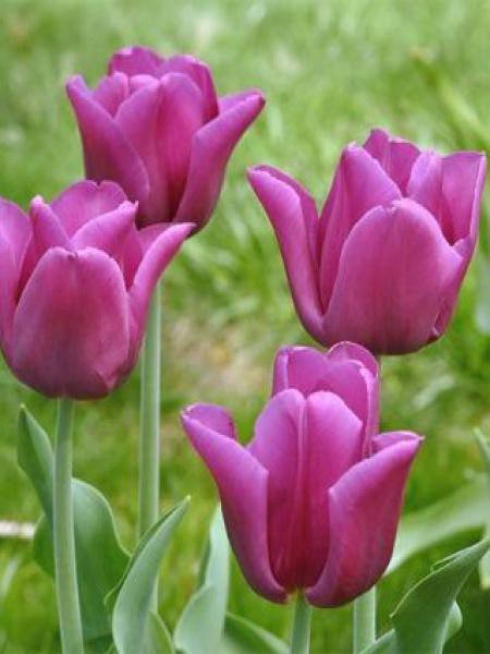 Tulipe triomphe 'Passionale'