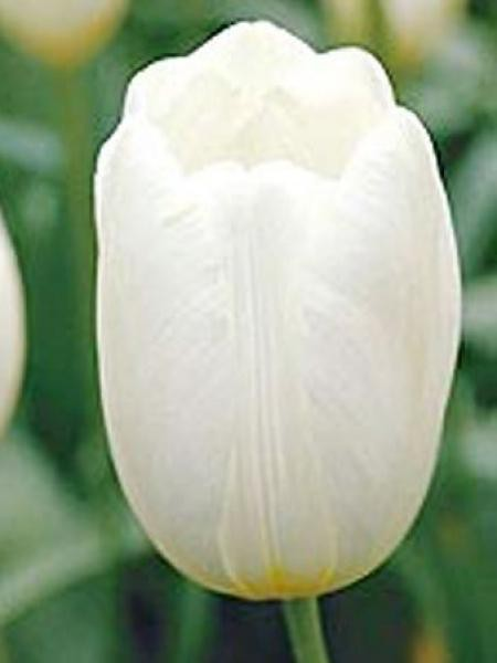Tulipe triomphe 'Pays Bas'