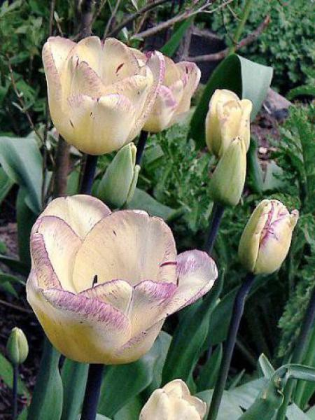 Tulipe triomphe 'Shirley'