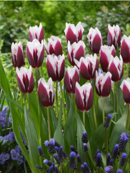 Tulipe triomphe 'Spitsbergen'