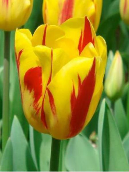 Tulipe triomphe 'Washington'