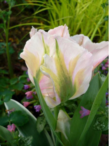 Tulipe viridiflora 'China Town'