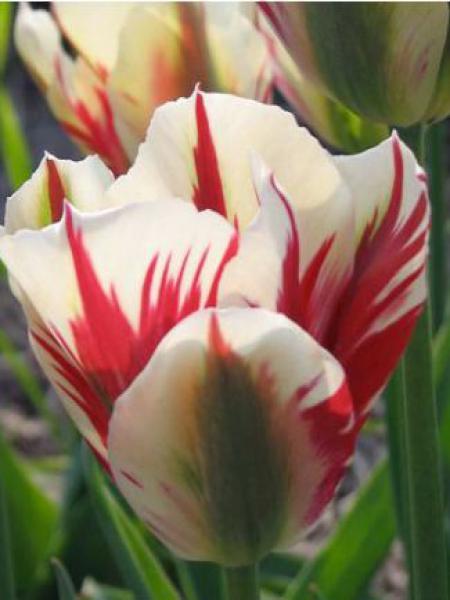 Tulipe viridiflora 'Flaming Springgreen'