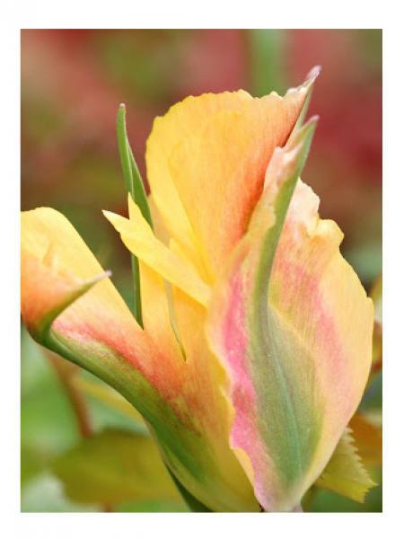 Tulipe viridiflora 'Golden Artist'