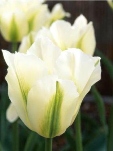 Tulipe viridiflora 'Spring Green'
