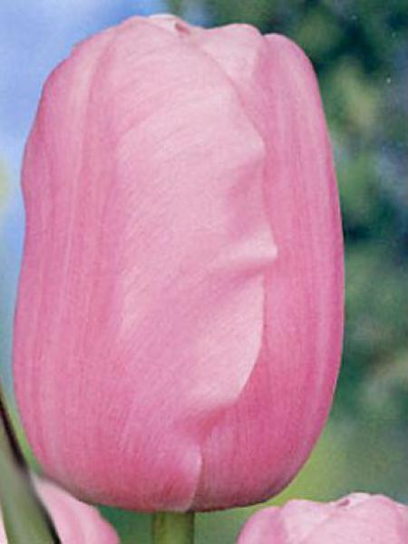 Tylipe de Darwin 'Pink Impression'