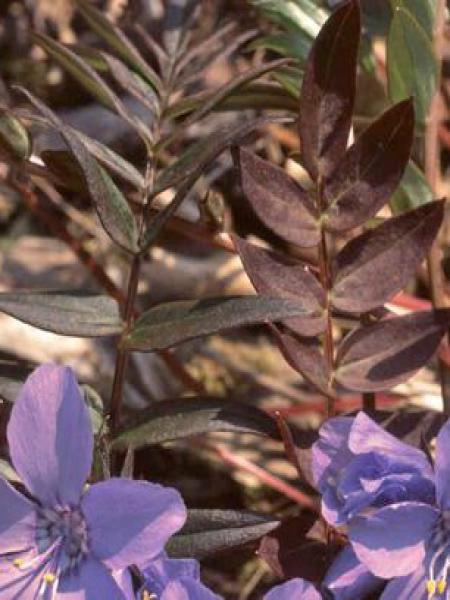 Valériane grecque 'Purple Rain'