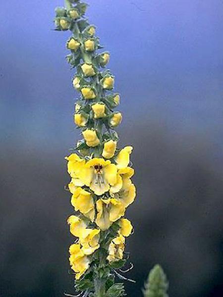 Verbascum thapus