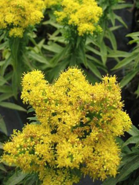 Verge d'or 'Golden Dwarf'