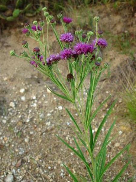 Vernonia crinita
