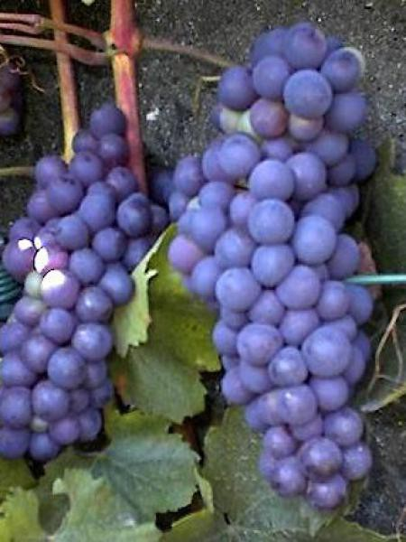 Vigne 'Boskoop Glory'