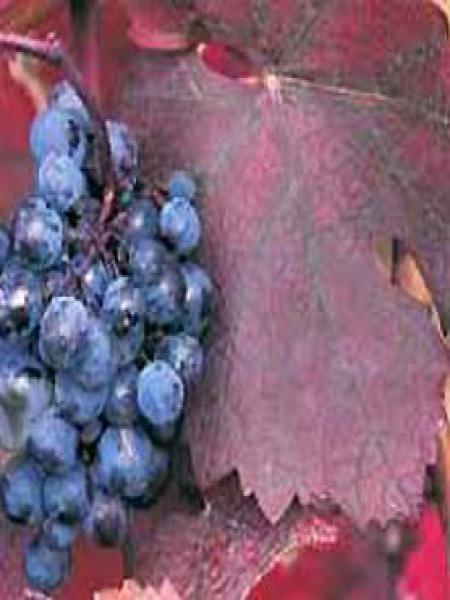 Vigne 'Purpurea'