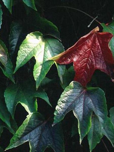 Vigne vierge japonaise 'Green Spring'