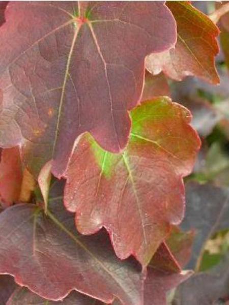 Vigne vierge japonaise 'Minutifolia'