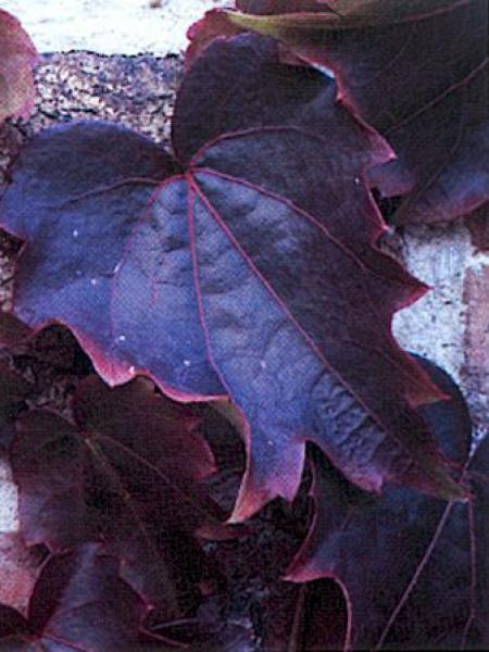 Vigne vierge japonaise 'Veitchii'