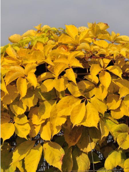 Vigne vierge 'Yellow Wall'